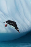 Gentoo Penguin jumping from an iceberg Royalty Free Stock Images