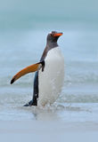 Gentoo penguin jumps out of the blue water while swimming through the ocean in Falkland Island Royalty Free Stock Image