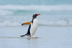 Gentoo penguin jumps out of the blue water while swimming through the ocean in Falkland Island Royalty Free Stock Photos