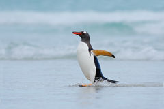 Gentoo penguin jumps out of the blue water while swimming through the ocean in Falkland Island Stock Images