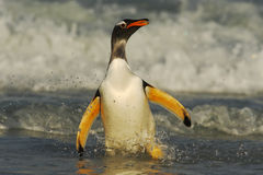Gentoo penguin jumps out of the blue water while swimming through the ocean in Falkland Island Royalty Free Stock Photography