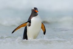 Gentoo penguin jumps out of the blue water while swimming through the ocean in Falkland Island, bird in the nature sea habitat Royalty Free Stock Photos