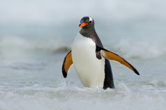 Gentoo penguin jumps out of the blue water while swimming through the ocean in Falkland Island, bird in the nature sea habitat Stock Image