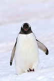 Gentoo penguin kicking up snow, Antarctica Stock Photo