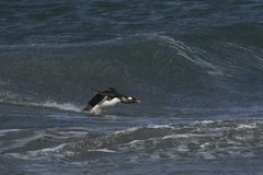 Gentoo penguin landing on the beach stock images