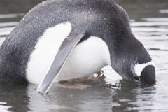 Gentoo penguin in large puddle - head partially submerged Royalty Free Stock Images