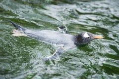 Gentoo Penguin (lat. Pygoscelis papua) Stock Images