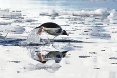 Gentoo penguin leaping above the water stock photos