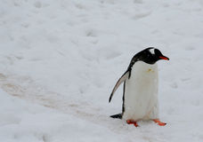 Gentoo penguin, light snow storm Royalty Free Stock Images