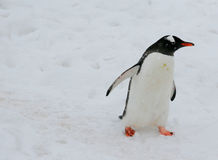 Gentoo penguin, light snow storm Stock Photo