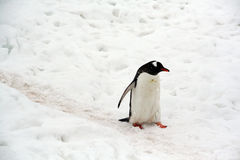 Gentoo penguin, light snow storm, Stock Photography