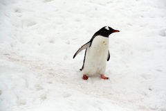 Gentoo penguin, light snow storm, Royalty Free Stock Photo