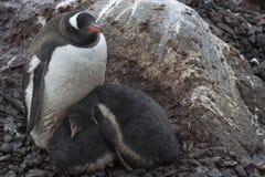 Gentoo penguin with little ones. In Antarctica Stock Photo