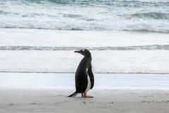 Gentoo Penguin looking behind. Gentoo Penguin - Pygoscelis papua - Falkland Islands royalty free stock photo