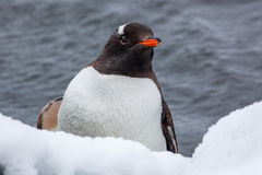 Gentoo penguin looking at the camera against ocean in Antarctica Stock Photo