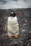 Gentoo penguin looking at camera on shingle Royalty Free Stock Photo