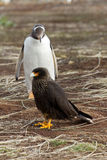 Gentoo Penguin is looking curious to a caracara bird Royalty Free Stock Photo