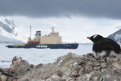 Gentoo penguin looking at ice-breaker. Arctic visitor to Antarctica, Gentoo penguin looking for an icebreaker Royalty Free Stock Photo