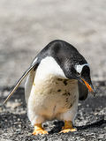 Gentoo penguin looks down Stock Photo