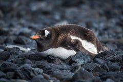 Gentoo penguin lying on black rocky beach Royalty Free Stock Image