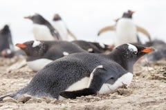 Gentoo penguin lying on her rock nest. Stock Photos