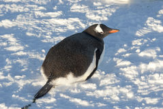 Gentoo penguin lying on the snow. Stock Photography
