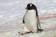 Gentoo penguin marching through snow, Antarctica Stock Photos