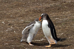 Gentoo penguin mother is feeding her chick Royalty Free Stock Photography