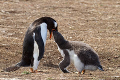 Gentoo penguin mother is feeding her chick Stock Images