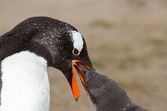Gentoo penguin mother is feeding her chick Royalty Free Stock Photo