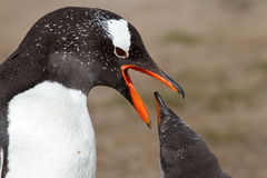 Gentoo penguin mother and her chick Royalty Free Stock Photos