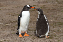 Gentoo penguin mother and her chick Stock Photography