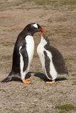 Gentoo penguin mother and her chick Royalty Free Stock Image