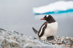Gentoo penguin on the nest, Antarctica. This shot was made during expedition to Antarctica in January 2012. This is summer time for Antarctica, penguins colony Stock Photo