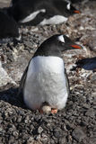 Gentoo Penguin - on nest with egg - Antarctica Stock Photography