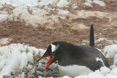 Gentoo penguin on nest, Neko Harbor, Antarctica Stock Image