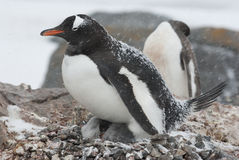Gentoo penguin in the nest during a snowfall. Gentoo Penguin with chicks in the nest during a snowfall Stock Photos