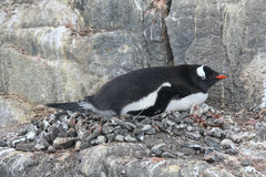 Gentoo Penguin in nesting area Stock Photography
