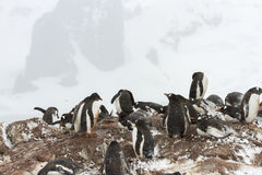 Gentoo penguin nesting ground, Ronde Island, Antarctica Royalty Free Stock Photography