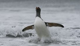 Gentoo penguin in ocean. Close up of Gentoo penguin with outstretched wings landing in icy ocean, Antarctica Royalty Free Stock Image