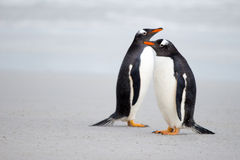 Gentoo penguin pair on the beach Stock Photography