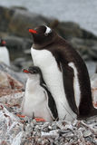 Gentoo penguin parent with young, Antarctica Stock Photo