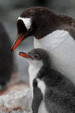 Gentoo penguin parent with young, Antarctica Royalty Free Stock Photos
