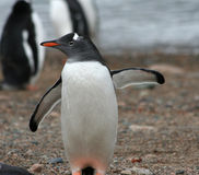 Gentoo penguin pointing left Stock Image