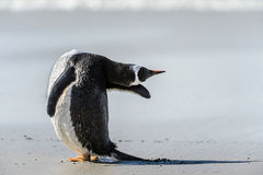 Gentoo penguin poses. Royalty Free Stock Image