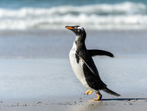 Gentoo penguin poses. Stock Photos