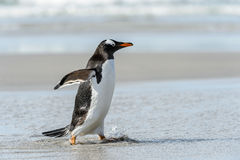Gentoo penguin poses. Gentoo penguin runs over the coast. Falkland Islands, South Atlantic Ocean, British Overseas Territory stock images