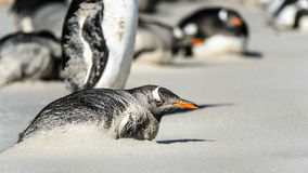 Gentoo penguin poses. Stock Image