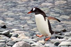 Gentoo penguin profile Royalty Free Stock Image