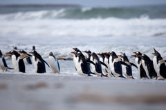 Gentoo Penguin (Pygoscelis Παπούα) που προέρχεται από την κυματωγή Στοκ Εικόνα